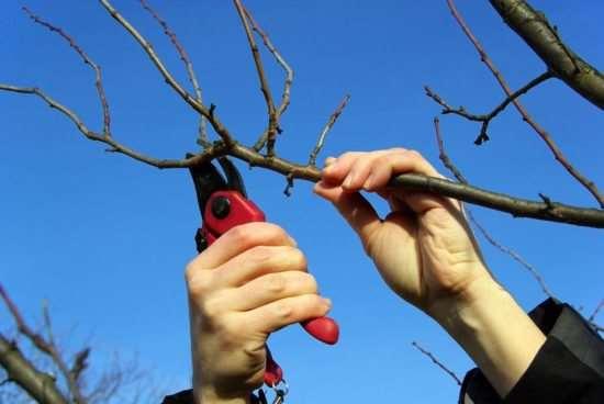 Обрезка деревьев, что это такое и для чего нужно