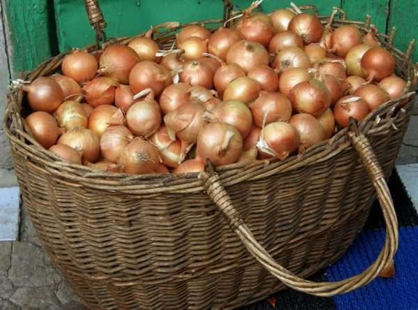 Озимый лук – популярные сорта