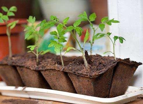Когда сеять помидоры на рассаду: усредненные данные