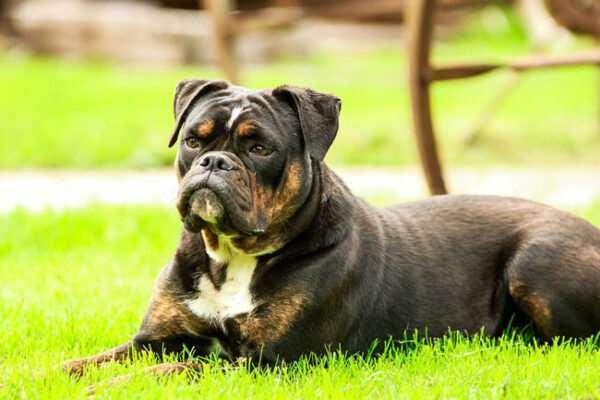 Порода бульдог — покладистые и веселые псы